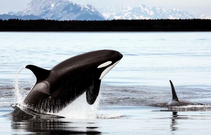 Orca (Spekhogger) i Alaska. Fra Vancouver følger vi den indre passasjens skjermede kanaler langs kysten av British Columbia og Alaska. Underveis ser vi etter dyreliv som hval, spekkhoggere, bjørn, havoter, sel og sjøløver, før vi ankommer Alaska.