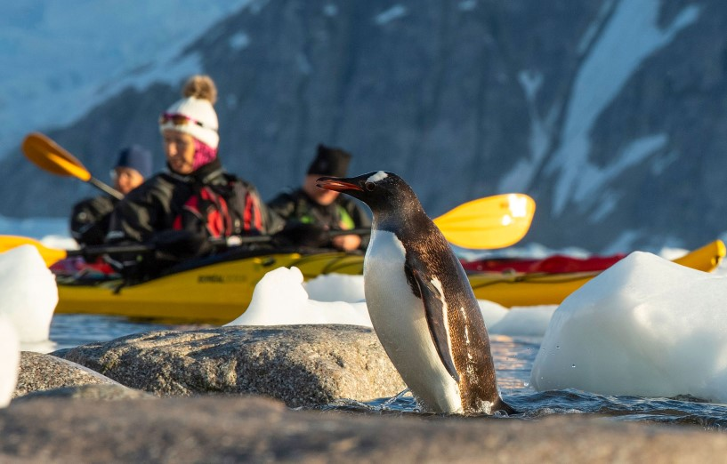 Penguin between ice blocks, people kayaking in yellow kayaks in the background, watching the penguin.