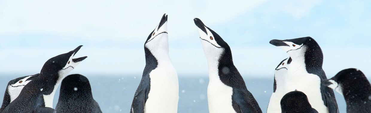 Chinstrap Penguins in Antarctica, with their distinctive black stripe on the face