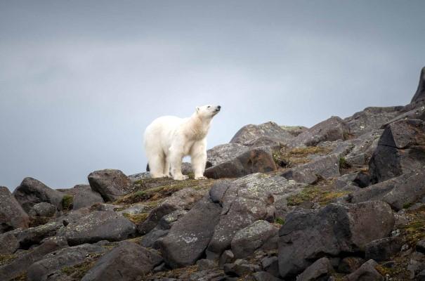 Isbjørn på Kapp Lee, Svalbard. Mens vi utforsker området på jakt etter sel, sjøfugl, arktisk rev og reinsdyr, holder vi selvsagt utkikk etter isbjørn. Det er gode sjanser for å se dem her - det er tross alt flere isbjørner enn mennesker på denne halvøya.