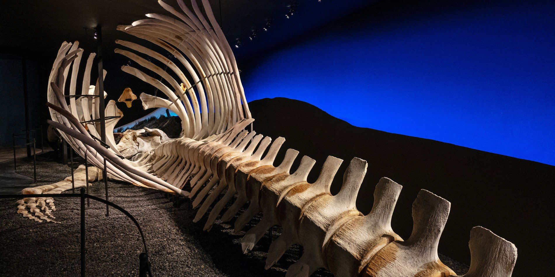A huge whale skeleton laying in a museum