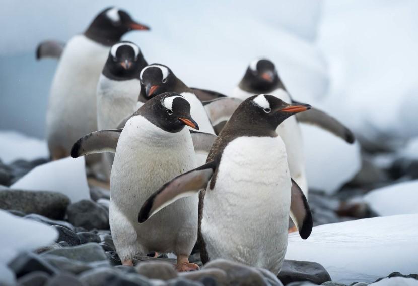 En gjeng pingviner på tur på Cuverville Island. Villmarken i Antarktis her er full av dyreliv. Gå i land for å møte pingviner i yrende og høylytte kolonier.