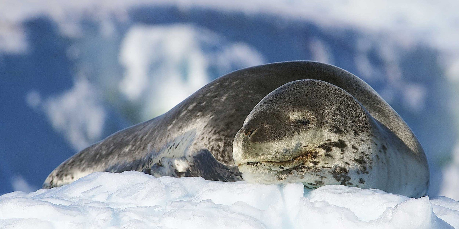 Weddell-seal_Dominic-Barrington.JPG