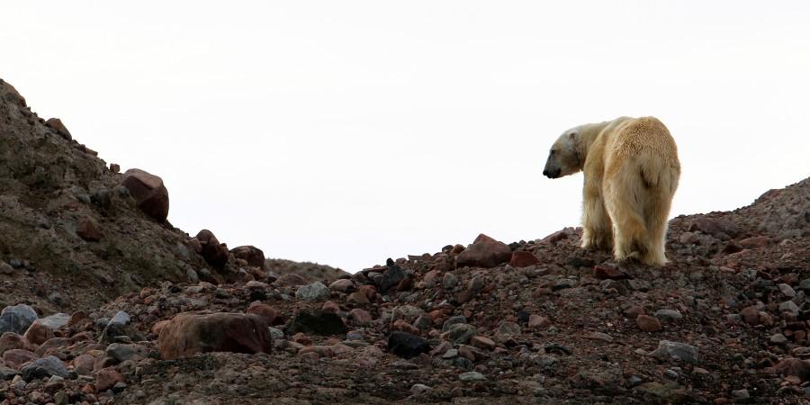2500x1250_Linda-Drake_Polar-Bear.jpg